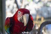 foto of parrots  - Beautiful colorful ara parrot  - JPG