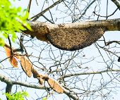 foto of beehive  - Honeycomb or beehive on the big tree in forest - JPG