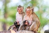picture of macaque  - Monkey (Crab-eating macaque) breastfeeding baby in Thailand