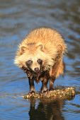 stock photo of hayfield  - Raccoon Dog (Nyctereutes procyonoides) in Japan, close up