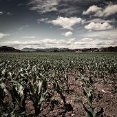 pic of farmhouse  - Farmhouses Surrounded by Fields of Young Corn Retro Image Filtered Style - JPG