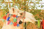 stock photo of camel  - Camel - JPG