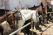 picture of horses ass  - Donkeys at the Greece Santorini island are used to transport tourists in summer time - JPG