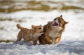 foto of mongrel dog  - Two Young mongrel dogs at play in the snow - JPG
