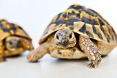 picture of testudo  - two turtles in front of white background - JPG