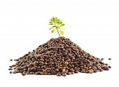 stock photo of coffee coffee plant  - Green plant growing from the pile of coffee beans isolated over the white background - JPG