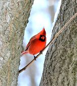 picture of cardinal-bird  - Male northern cardinal standing on a tree branch - JPG