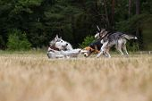 foto of dry grass  - Two husky and beagle is playing in the meadow - JPG