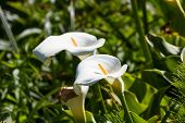 image of calla  - close up of calla lilies on a small canyon in the California Coast - JPG