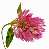 stock photo of red clover  - Red Clover Flower Close - JPG