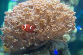 image of clown fish  - Red Clown playing in coral in tank - JPG