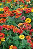 stock photo of chrysanthemum  - colorful chrysanthemum flowers in outdoor in day time  - JPG