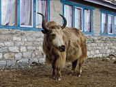 picture of yaks  - Yak standing in front of a lodge - JPG