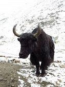 picture of yaks  - Black old yak - JPG