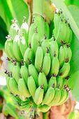 foto of banana  - Green banana trees and fruits - JPG