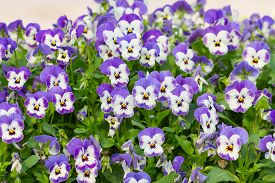 picture of viola  - Viola tricolor pansy  flower bed bloom in the garden - JPG