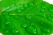 stock photo of tree leaves  - Closeup of a bright green leaf with water droplets - JPG