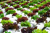 foto of hydroponics  - Hydroponic vegetable is planted in a garden - JPG
