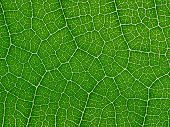 stock photo of green leaves  - Green leaf texture closeup background - JPG