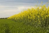 picture of biodiesel  - Rapeseed oil is used in the manufacture of biodiesel for powering motor vehicles - JPG
