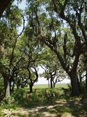 pic of old spanish trail  - Oak Trees with Spanish Moss in Beaufort South Carolina - JPG