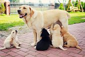 picture of puppies mother dog  - mother with her puppy  - JPG