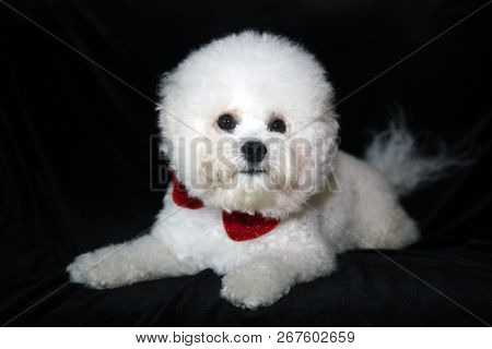 poster of A beautiful 1 year old Pure Breed Bichon Frise dog wears a red bowtie and poses on black velvet. Dog