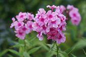 Pink Flowers. Blooming Flowers. Pink Phlox On A Green Grass. Garden With Phlox. Garden Flowers. Natu poster