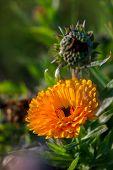 Orange Calendula Flowers. Blooming Marigold Flowers. Orange Calendula On A Green Grass. Garden With  poster