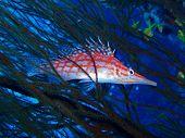 stock photo of hawkfish  - Longnose Hawkfish in Branching Black Coral - JPG