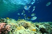 picture of sergeant major  - Shallow coral reef with anthias and Sergeant Major fishes - JPG