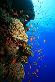 picture of coral reefs  - Coral reef and tropical fish in blue water - JPG