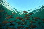 Shoal of Surgeonfishes