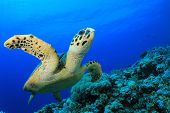 image of hawksbill turtle  - Hawksbill Sea Turtle swims over coral reef in the Red Sea - JPG