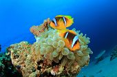 Tropical Fish: Red Sea Anemonefish (Amphiprion bicinctus), also known as Clownfish, in a Bubble Anemone poster