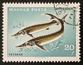 HUNGARY - CIRCA 1967: a stamp printed in Hungary shows illustration of Sterlet - Acipenser Ruthenus