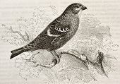 Old illustration of Pine Grosbeak (Pinicola enucleator). Created by Kretschmer and Niedermann, publi