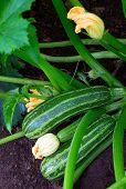 Zucchini Plant.  Zucchini Flower. Zucchini Growing. Green Vegetable Marrow Growing On Bush poster