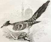 Great Spotted Cuckoo old illustration (Clamator glandarius). Created by Kretschmer and Wendt, publis