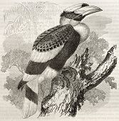 Great Hornbill old illustration (Buceros bicornis). Created by Kretschmer and Illner, published on M