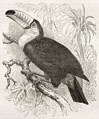 Toco Toucan old illustration (Ramphatos toco). Created by Kretschmer and Illner, published on Mervei