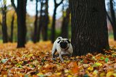 Purebred Dog On The Autumn Lawn In The Park During A Walk. Autumn In The City Park. Pug During A Wal poster