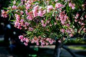 Pink Rhododendrons In Montenegro Bloom In The City Park poster