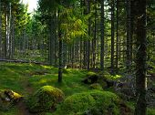 Hardly visible trail on green moss in spruce tree forest, Nature of Sweden, Hiking trail Bruksleden poster