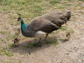 picture of peahen  - peahen and her chicks - JPG