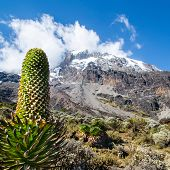 picture of kilimanjaro  - A Lobelia deckeni guards the trail to the Kibo cone - JPG