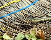 image of harmless snakes  - Garter snake crawling on an old broom - JPG