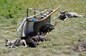 Dog Sled Puppies