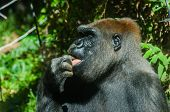 stock photo of finger-licking  - Gorilla licking its finger and closing its eyes - JPG