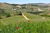 Постер, плакат: Красные маки как холмы и виноградники Ланге на фоне весной в Пьемонте среди зеленой травы